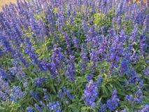 Blue Salvia Stock Photos
