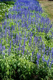 Blue salvia flowers. In flowers bed royalty free stock photography