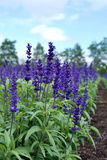 Blue salvia flowers. Blooming in spring Royalty Free Stock Photos