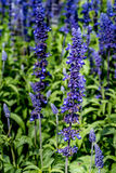 Blue salvia flowers. Close up of Blue salvia flowers in flowers bed royalty free stock image