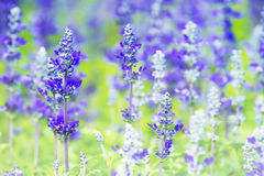 Blue Salvia flowers Royalty Free Stock Photography