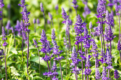 Blue Salvia  flowers Royalty Free Stock Image