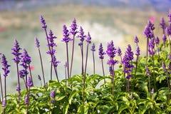 Blue Salvia  flowers Stock Photo