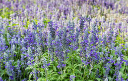 Blue Salvia. In the garden stock images