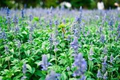 Blue Salvia. In the garden stock photo