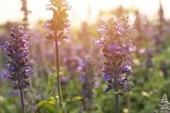 Blue Salvia garden in the morning sun.  Royalty Free Stock Photography