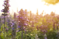 Blue Salvia garden Stock Images