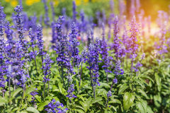 Blue salvia herbal flowers blooming in garden. On sunny day Stock Photo