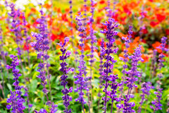 Blue salvia. Macro with red flower bg Stock Photography