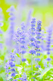 Blue Salvia,Mealy Cap Sage or Salvia farinacea Benth Stock Photos