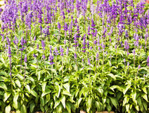 Blue Salvia plant Royalty Free Stock Images