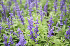 Blue salvia purple flowers, ornamental plants spring and bee fly Royalty Free Stock Images