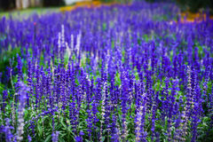 Blue salvia purple flowers. salvia flowers in the garden. Blue salvia purple flowers. salvia flowers in the garden Stock Photos