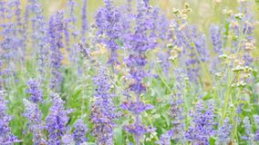 Blue salvia blue sage flower. Beautiful violet flowers on the meadow with grass stock image