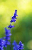 Blue Salvia (salvia farinacea) flower Royalty Free Stock Photography