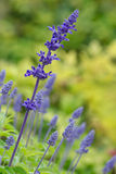Blue Salvia (salvia farinacea) flowers Stock Photo