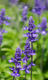 Blue Salvia (salvia farinacea) flowers Royalty Free Stock Image