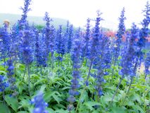 Blue Salvia salvia farinacea flowers blooming in the garden. Or filed royalty free stock image