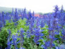Blue Salvia salvia farinacea flowers blooming in the garden. Or filed stock image