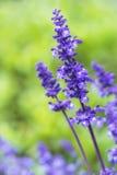 Blue Salvia (salvia farinacea) flowers Stock Image