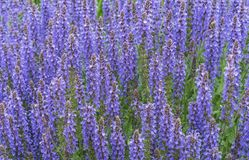 Blue Salvia salvia farinacea flowers blooming in the garden. Violet sage flowers. Background of lilac wildflowers stock photos
