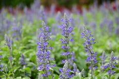 Blue Salvia. Suanluang Park, Thailand stock photography