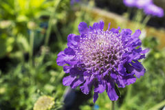 Blue Scabius flowers. Stock Photography
