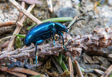 Blue scarab on the ground Stock Photos