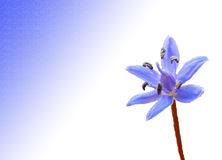 Blue Scilla Flower Stock Photography