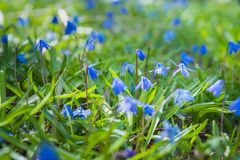 Blue scilla flowers blooming in green grass in early spring stock photo