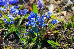 Blue scilla flowers Scilla siberica or siberian squill. First spring flowers Royalty Free Stock Photography