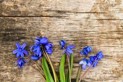 Blue scilla flowers Scilla siberica or siberian squill. On old wooden background Royalty Free Stock Photo