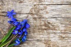 Blue scilla flowers Scilla siberica or siberian squill. On old wooden background Stock Photo