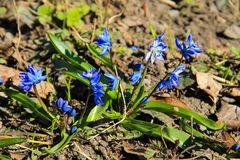 Blue scilla flowers Scilla siberica or siberian squill. First spring flowers Royalty Free Stock Photo