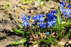 Blue scilla flowers Scilla siberica or siberian squill. First spring flowers Stock Photos