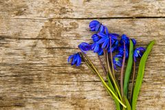 Blue scilla flowers Scilla siberica or siberian squill on wooden background. Blue scilla flowers Scilla siberica or siberian squill on old wooden background Royalty Free Stock Photos
