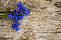 Blue scilla flowers Scilla siberica or siberian squill on wooden background. Blue scilla flowers Scilla siberica or siberian squill on old wooden background Royalty Free Stock Photo