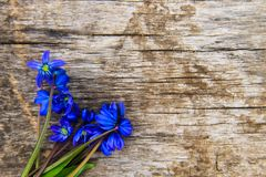 Blue scilla flowers Scilla siberica or siberian squill on wooden background. Blue scilla flowers Scilla siberica or siberian squill on old wooden background Stock Image