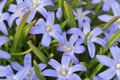 Blue scilla Royalty Free Stock Photo