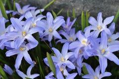 Blue scilla Stock Photo