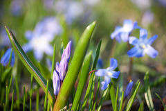 Blue Scilla siberica. First Spring flowers - blue Scilla siberica Stock Photos