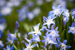 Blue Scilla siberica Royalty Free Stock Photography