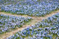 Blue Scilla siberica Stock Photography