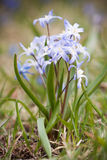 Blue Scilla siberica Royalty Free Stock Image