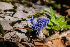 Blue scilla siberica in spring royalty free stock photo