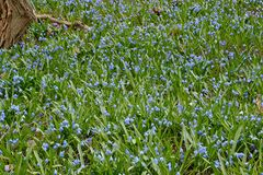 Blue scilla siberica sprinkle a park slope with contrasting colours Royalty Free Stock Photo