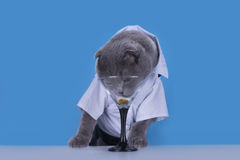 Blue Scottish Fold cat is drinking a cocktail Royalty Free Stock Photography