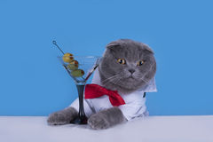 Blue Scottish Fold cat is drinking a cocktail Royalty Free Stock Image