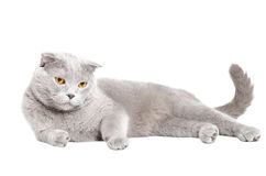 Blue Scottish Fold cat lying Stock Photography