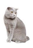 Blue Scottish fold cat Stock Photo